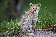 A cheetah mother and her cub (Acinonyx jubatus) resting together in the morning,  Ndutu, Ngorongoro Conservation Area, Tanzania, Africa