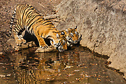Two Bengal tigers at a water hole (Panthera tigris tigris), one drinking while the other sits ,Ranthambhore National Park, Rajasthan, India,