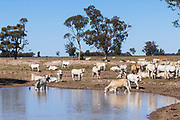 Brahman cross (Bos Indicus) cattle around watering hole earthen dam in outback farm paddock in The Gums, Queensland, Australia <br />