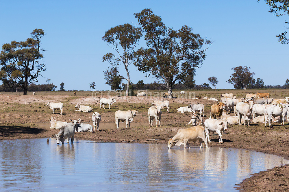 Brahman cross (Bos Indicus) cattle around watering hole earthen dam in outback farm paddock in The Gums, Queensland, Australia <br /> <br /> Editions:- Open Edition Print / Stock Image