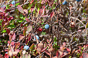 Blue berries Photographed on Elfer Mountain, Stubai Valley, Tyrol, Austria in September