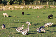 Geese and sheep farm, Britanny, France. Free-range birds may be at risk if Avian Flu (Bird Flu Virus) spreads