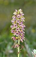Dutch Helleborine - Epipactis helleborine ssp. neerlandica