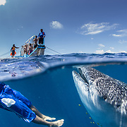 Over-under photo of a whale shark (Rhincodon typus) with the boat's cook and tour banca boat, Honda Bay, Palawan, the Philppines.