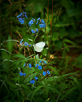 Blue Forget-Me_Not Flowers. Image taken with a Nikon D850 camera and 105 mm f/1.4 lens
