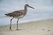 Willet (Tringa semipalmata)<br /> Little St Simon's Island, Barrier Islands, Georgia<br /> USA<br /> HABITAT & RANGE: Coastal saltmarshes from Nova Scotia to Mexico and the Caribbean.