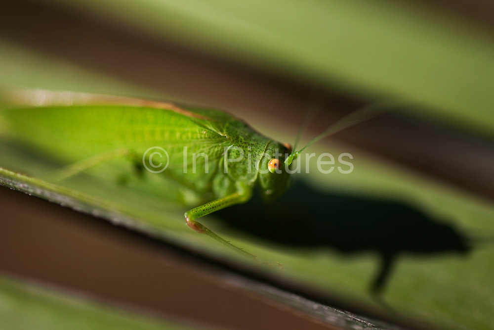 Grasshopper sits on a palm leaf creating a shadow in the morning sun. Camouflaged against the green just his orange eyes contrast