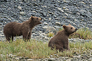 Brown bear spring cubs play along the lower lagoon at the McNeil River State Game Sanctuary on the Kenai Peninsula, Alaska. The remote site is accessed only with a special permit and is the world's largest seasonal population of brown bears in their natural environment.