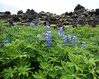 Lupins at the Edge of the Lava Field in  Vestmannaeyjar, Iceland. The volcanic equption back in 1973 almost swallowed the town - there are homes buried under those rocks. Image taken with a Nikon 1 V2 camera and 6.7-13 mm VR lens (ISO 160, 6.7 mm, f/4, 1/500 sec). Nikonians Iceland Photo Adventure Tour.