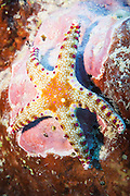 Cumings Sea Star (Neoferdina cuminigi) starfish on tropical coral reef - Agincourt reef, Great Barrier Reef, Queensland, Australia. <br />