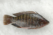 Fresh cultivated Sea Bream (Sparidae) on ice