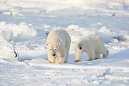 01874-12218 Polar Bear (Ursus maritimus) mother and cub near Hudson Bay  in Churchill Wildlife Management Area, Churchill, MB Canada