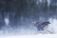 Golden eagle (Aquila chrysaëtos), Flatanger, Norway..