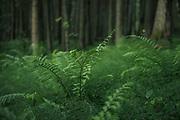 The green forest undergrowth with Ferns and Puzzlegrass, Gauja National Park (Gaujas Nacionālais parks), Latvia Ⓒ Davis Ulands   davisulands.com