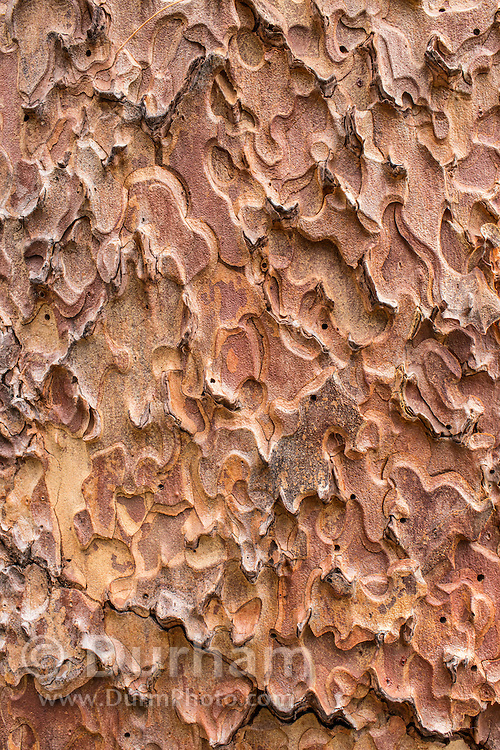 Detail of pondersosa bark (Pinus ponderosa) in the Deschutes National Forest, Oregon.