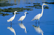 Great egrets and snowy egrets wading