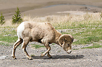 May 19, 2007 -- Kananaskis Provincial Park, Alberta, Canada.  Bighorn Sheep in Kananaskis Country near the Kananaskis River.