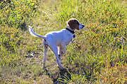 Young English Setter