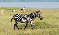 Grant's Zebra, Equus quagga boehmi, near the shore of Lake Nakuru in Lake Nakuru National Park, Kenya. Behind it are three Greater Flamingoes, Phoenicopterus ruber, and a Saddle-billed Stork, Ephippiorhynchus senegalensis.