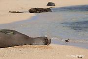 Hawaiian monk seals, Monachus schauinslandi, Critically Endangered endemic species, female resting on beach with wandering tattler, Tringa incana (formerly Heteroscelus incanus ) foraging along tide line, Larsen's Beach, Moloa'a, Kauai, Hawaii ( Central Pacific Ocean )