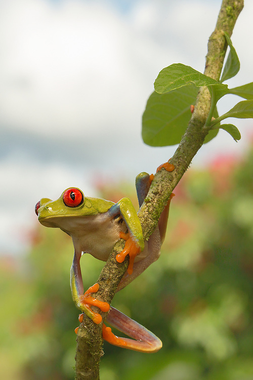 """Red-Eyed Tree Frog<br /> <br /> Available sizes:<br /> 12"""" x 18"""" print <br /> <br /> See Pricing page for more information. Please contact me for custom sizes and print options including canvas wraps, metal prints, assorted paper options, etc. <br /> <br /> I enjoy working with buyers to help them with all their home and commercial wall art needs."""