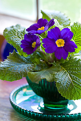 Polyanthus in a green glass dish on a windowsill