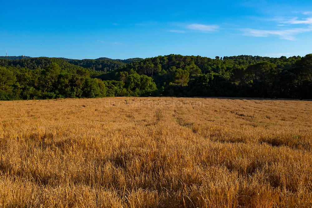 Wheat growing in a field, Catalonia