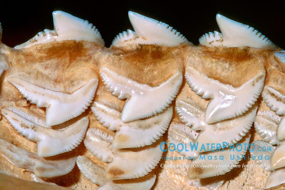 rows of tiger shark teeth, Galeocerdo cuvier, Oahu, Hawaii, USA
