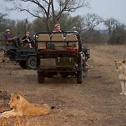 Tourists enjoying a late afternoon game drive watching lions in Londolozi Game Reserve, South Africa.