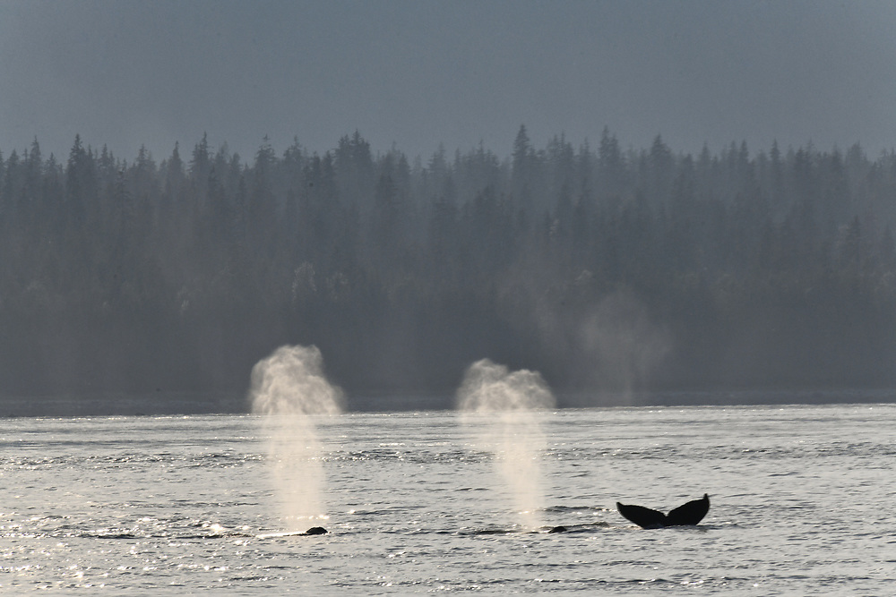 Two whales exhale while a third shows its fluke as it dives.