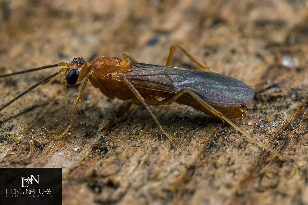 Odontomachus brunneus - trap jaw ant.  Photographed in Lady Lake, FL USA