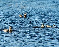 Northern Pintail (Anas acuta). Black Point Wildlife Drive, Merritt Island Wildlife Refuge. Merritt Island, Brevard County, Florida. Image taken with a Nikon D3 camera and 80-400 mm VR lens.