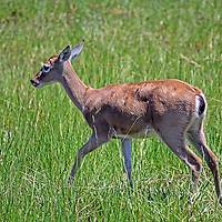 South America, Brazil, Pantanal.  A Marsh Deer in the grasslands of the Pantanal.