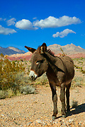 A burro (Equus asinus), also known as a donkey, stands among the Calico Hills in the Red Rock Canyon Conservation Area in Nevada. Burros were introduced to the area in the 1800s by miners and ranchers who used them to haul heavy cargo. Some escaped or were freed, becoming wild (technically feral). The Red Rock Canyon area is part of the Mojave Desert and is a harsh environment, but the burros are able to survive by finding spring water and feeding on grasses.