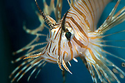 Close up of a volitan lionfish (Pterois volitans). A beautiful, majestic marine fish with striking markings and deadly spines, capable of delivering a painful sting when touched. Aquarium, North Wales