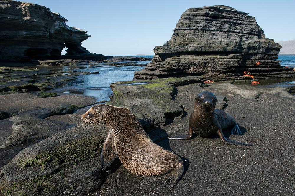 Galapagos Sealion pup (Zalophus wollebaeki)<br /> Puerto Egas, Santiago Island,<br /> GALAPAGOS ISLANDS<br /> ECUADOR.  South America