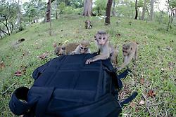 Toque Macaques Investigating Camera Backpack