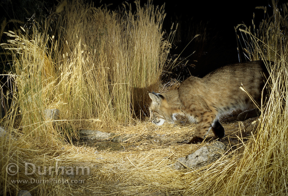 A bobcat (Lynx rufus) makes a nocturnal visit to an artificial guzzler in the desert of southern Oregon.