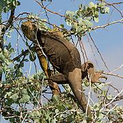 Land Iguana (Canolophus subcristatus).  An iguana makes it's way up a tree to eat some food.  Galapagos, Ecuador.