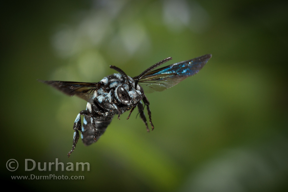 Male Thyreus bee (possibly Thyreus histrionicus). Photographed with a high speed camera in Matobo National Park , Zimbabwe. Thyreus is a genus of bees commonly known as cuckoo bees, which parasitise other bees, in this case anthophorines bees. © Michael Durham / www.DurmPhoto.com