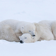 A polar bear (Ursus maritimus) cub nearly as big as its mother lays across her shoulders and neck. Cape Churchill, Manitoba, Canada