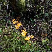 Munkedal 2010 <br /> Kantarell svamp svampar kantareller plocka svamp skog promenad gula kantareller<br /> <br /> <br /> FOTO : JOACHIM NYWALL KOD 0708840825_1<br /> COPYRIGHT JOACHIM NYWALL<br /> <br /> ***BETALBILD***<br /> Redovisas till <br /> NYWALL MEDIA AB<br /> Strandgatan 30<br /> 461 31 Trollhättan<br /> Prislista enl BLF , om inget annat avtalas.