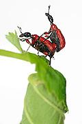 [captive] Hazel Leaf-roller Weevil (Apoderus coryli) Westensee, Germany (sequence 9/9) | Männchen und Weibchen des Haselblattrollers (Apoderus coryli) sind nun bereit zur Paarung, nachdem sie aus einem ganzen Haselblatt eine kunstvolle Rolle gefertigt und er konkurrierende Männchen vertrieben hat.