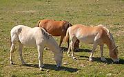 Three horses ponies grazing in a field in near Castro Verde, Baixo Alentejo, Portugal, Southern Europe