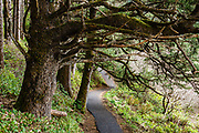 A paved loop trail meanders under evergreen trees on the way to Devils Churn, in Cape Perpetua Scenic Area, Siuslaw National Forest, Yachats, Oregon coast, USA.