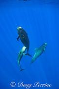 adult and juvenile short-finned pilot whales, Globicephala macrorhynchus, socializing in open ocean, Kona, Hawaii ( the Big Island ), U.S.A. ( Central Pacific Ocean )
