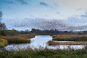 Murmuration of Starlings - Sturnus vulgaris. Thousands of birds form swirling shapes and patterns flocking together before roosting, Avalon Marshes, Somerset Levels, UK