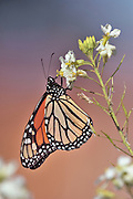 close-up of fedding monarch butterfly on a white flower with blured background.
