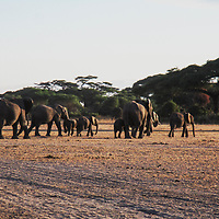 A herd of elephants walking back into community land after a day of grazing in the park.
