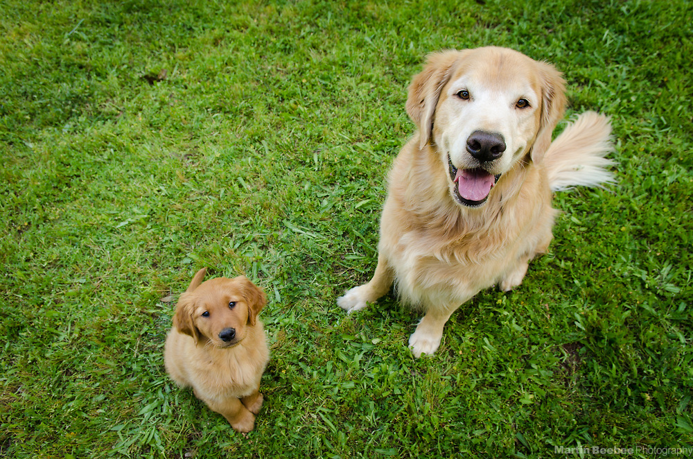Golden retriever puppy and adult